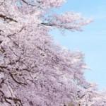 醍醐桜の満開を渋滞せずに見る方法