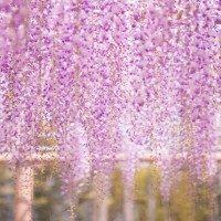 茶臼山高原の芝桜の開花と見頃は?